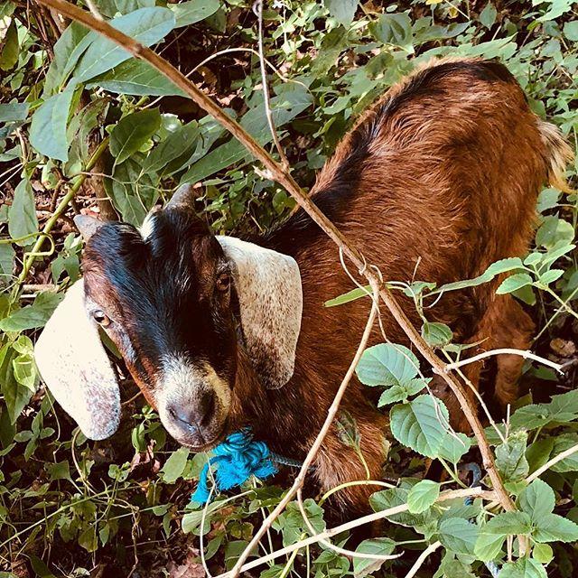 スンバワ島で羊の一頭買い。 yesterday friend is dinner for all friends.